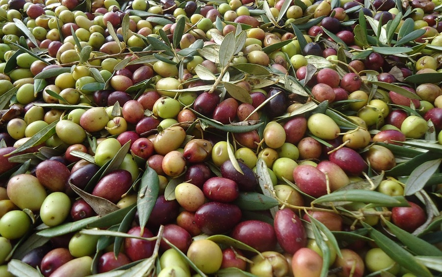 hacer aceite de oliva de calidad