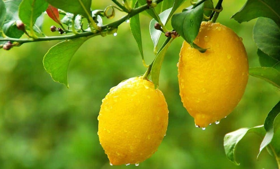 ensalada de limones extremeña