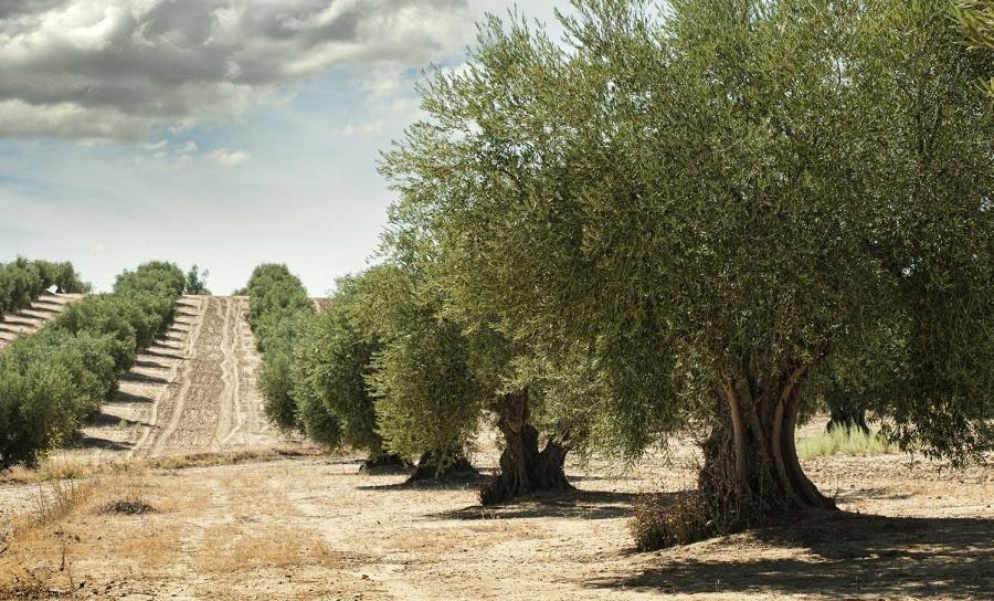 como cuidar los olivos