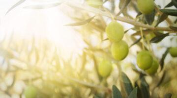 mayor productor de aceite de oliva