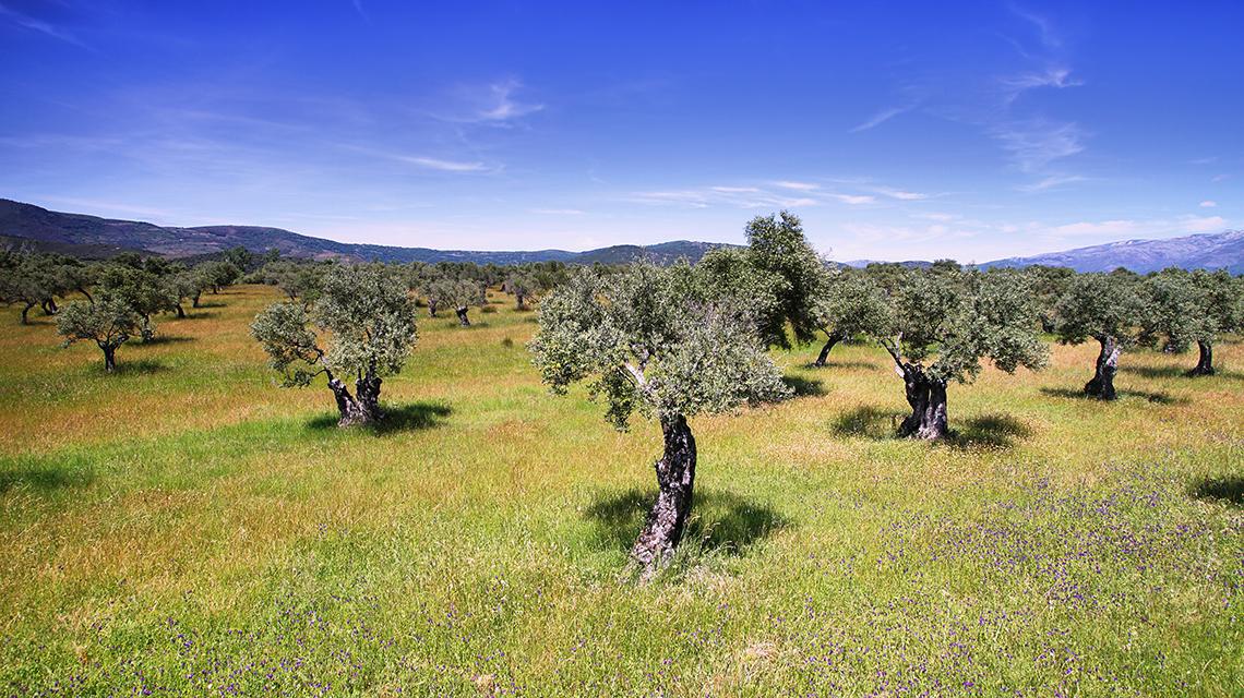 Producción de aceite de oliva en España